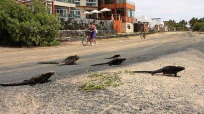 iguana-crossing-iguanas-cruzando-playa